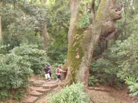 奈良県天然記念物の楠の木(奈良豆比古神社)
