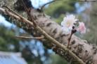 白毫寺子福桜