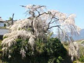 霊安寺町 麒麟桜