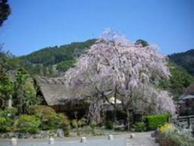 賀名生皇居跡 枝垂桜